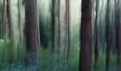 Il bosco di abeti